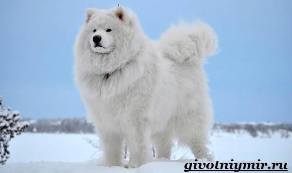 Самоедская-лайка-собака-Описание-особенности-уход-и-цена-самоедской-лайки-5