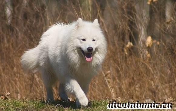 Самоедская-лайка-собака-Описание-особенности-уход-и-цена-самоедской-лайки-6