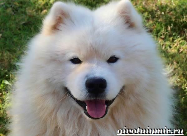Самоедская-лайка-собака-Описание-особенности-уход-и-цена-самоедской-лайки-7