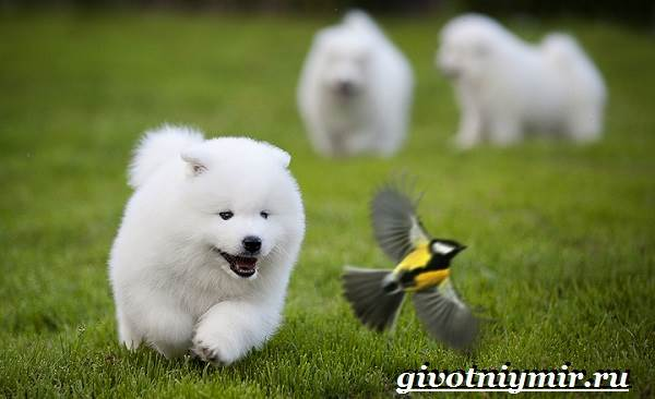Самоедская-лайка-собака-Описание-особенности-уход-и-цена-самоедской-лайки-8