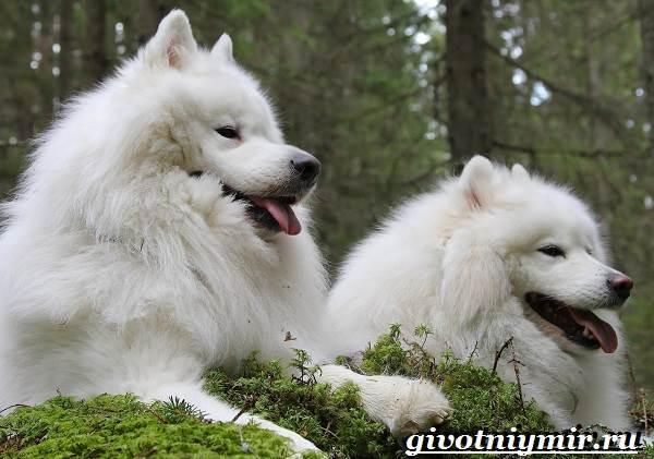 Самоедская-лайка-собака-Описание-особенности-уход-и-цена-самоедской-лайки-9