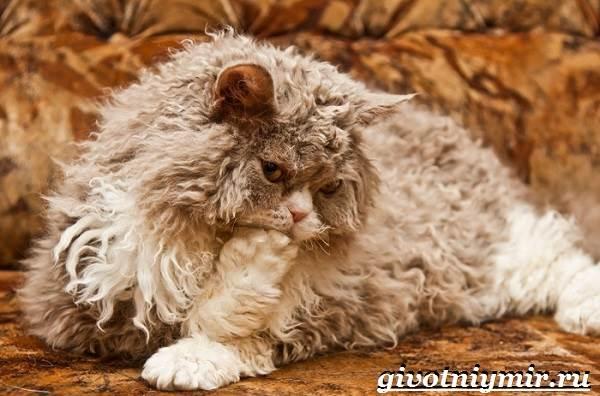 Селкирк-рекс-кошка-Описание-особенности-уход-и-цена-кошки-селкирк-рекс-1