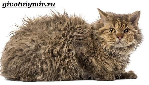 Селкирк-рекс-кошка-Описание-особенности-уход-и-цена-кошки-селкирк-рекс-2