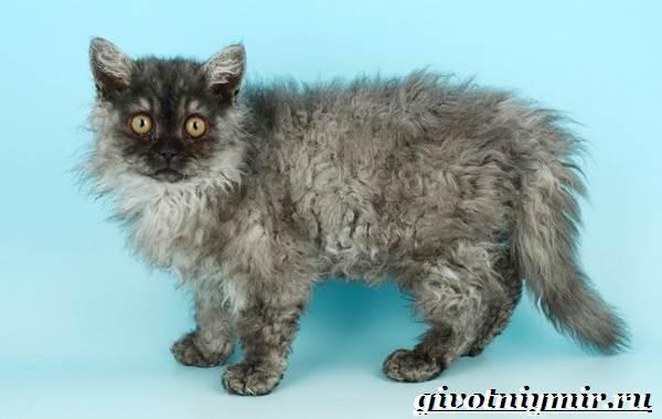Селкирк-рекс-кошка-Описание-особенности-уход-и-цена-кошки-селкирк-рекс-3
