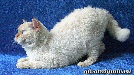 Селкирк рекс кошка. Описание, особенности, уход и цена кошки селкирк рекс