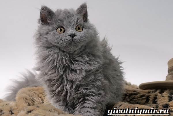 Селкирк-рекс-кошка-Описание-особенности-уход-и-цена-кошки-селкирк-рекс-5
