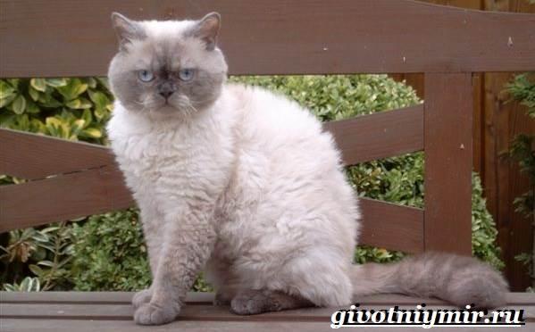 Селкирк-рекс-кошка-Описание-особенности-уход-и-цена-кошки-селкирк-рекс-6
