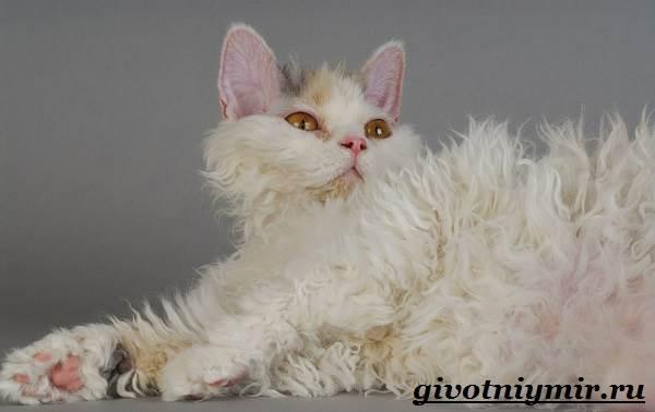 Селкирк-рекс-кошка-Описание-особенности-уход-и-цена-кошки-селкирк-рекс-7