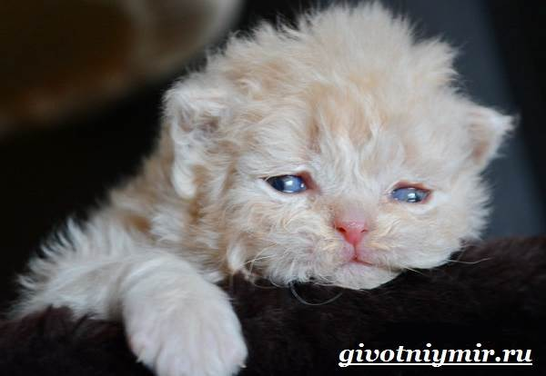 Селкирк-рекс-кошка-Описание-особенности-уход-и-цена-кошки-селкирк-рекс-8