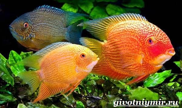 Северум-рыба-Описание-особенности-совместимость-и-цена-рыбки-северум-1