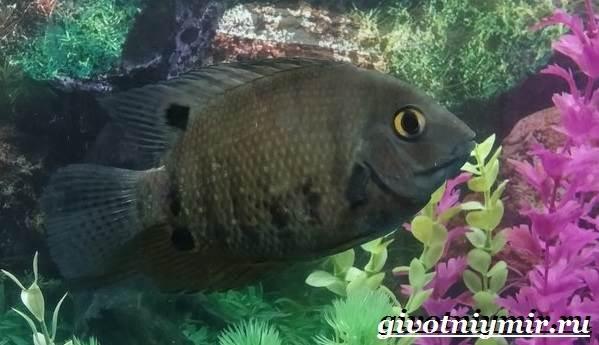 Северум-рыба-Описание-особенности-совместимость-и-цена-рыбки-северум-11