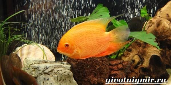 Северум-рыба-Описание-особенности-совместимость-и-цена-рыбки-северум-12