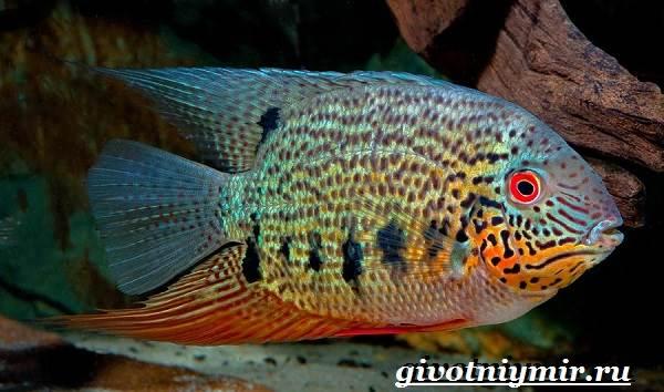 Северум-рыба-Описание-особенности-совместимость-и-цена-рыбки-северум-2