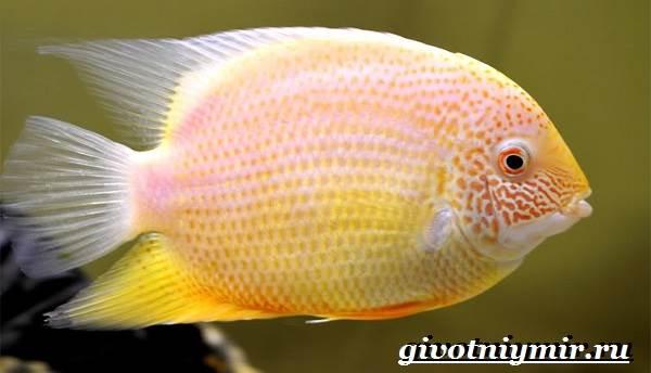Северум-рыба-Описание-особенности-совместимость-и-цена-рыбки-северум-3