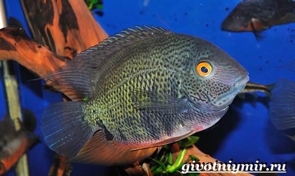 Северум-рыба-Описание-особенности-совместимость-и-цена-рыбки-северум-4
