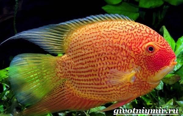 Северум-рыба-Описание-особенности-совместимость-и-цена-рыбки-северум-5