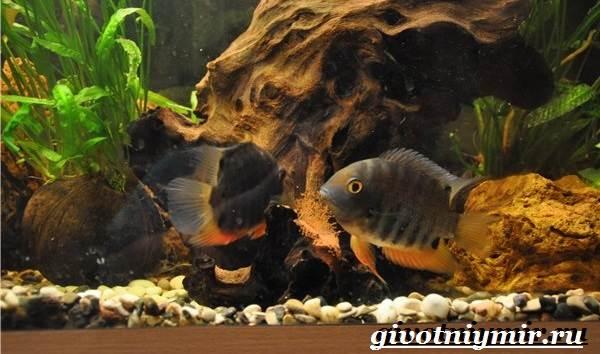 Северум-рыба-Описание-особенности-совместимость-и-цена-рыбки-северум-6