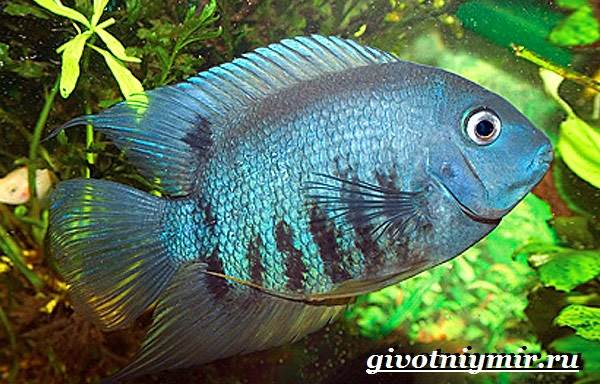Северум-рыба-Описание-особенности-совместимость-и-цена-рыбки-северум-8