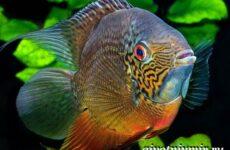 Северум рыба. Описание, особенности, совместимость и цена рыбки северум