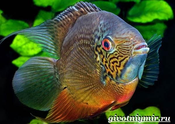 Северум-рыба-Описание-особенности-совместимость-и-цена-рыбки-северум-9