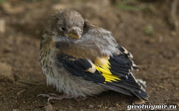 Щегол-птица-Образ-жизни-и-среда-обитания-птицы-щегол-10-1