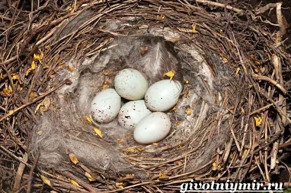 Щегол-птица-Образ-жизни-и-среда-обитания-птицы-щегол-10