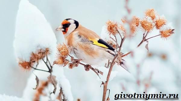 Щегол-птица-Образ-жизни-и-среда-обитания-птицы-щегол-11