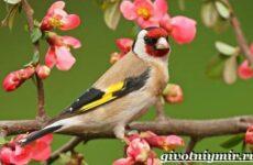 Щегол птица. Образ жизни и среда обитания птицы щегол