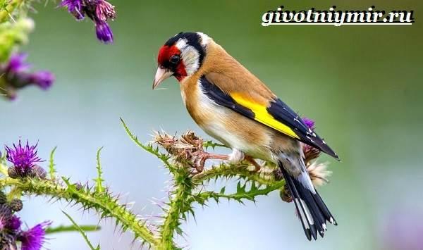 Щегол-птица-Образ-жизни-и-среда-обитания-птицы-щегол-2