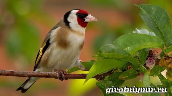 Щегол-птица-Образ-жизни-и-среда-обитания-птицы-щегол-3
