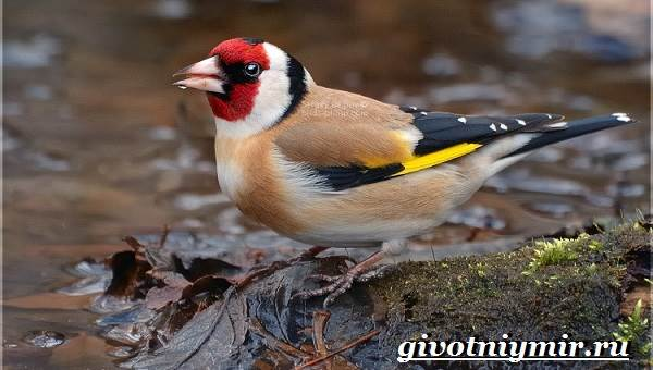 Щегол-птица-Образ-жизни-и-среда-обитания-птицы-щегол-4
