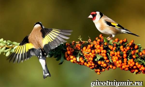 Щегол-птица-Образ-жизни-и-среда-обитания-птицы-щегол-5