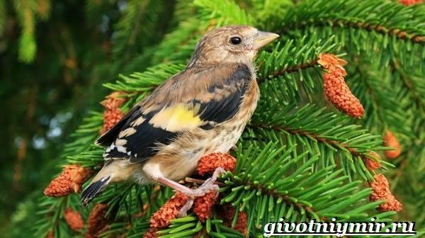Щегол-птица-Образ-жизни-и-среда-обитания-птицы-щегол-6