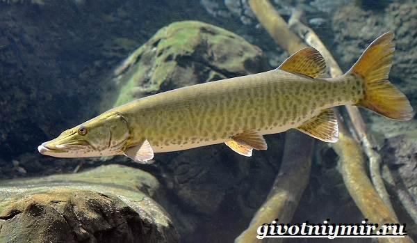 Щука-рыба-Образ-жизни-и-среда-обитания-щуки-3