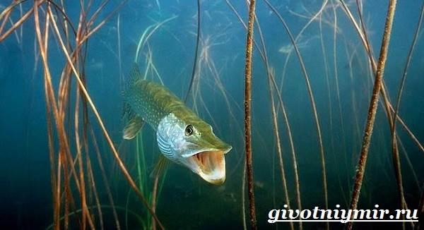 Щука-рыба-Образ-жизни-и-среда-обитания-щуки-4
