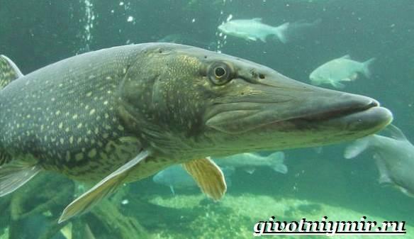 Щука-рыба-Образ-жизни-и-среда-обитания-щуки-5