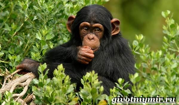 Шимпанзе-обезьяна-Образ-жизни-и-среда-обитания-шимпанзе-1