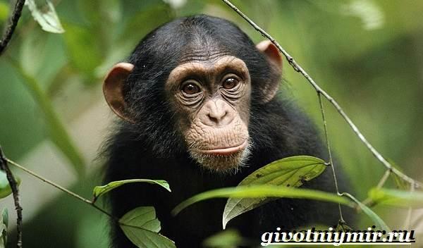 Шимпанзе-обезьяна-Образ-жизни-и-среда-обитания-шимпанзе-2
