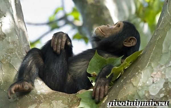 Шимпанзе-обезьяна-Образ-жизни-и-среда-обитания-шимпанзе-3