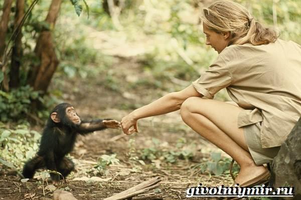 Шимпанзе-обезьяна-Образ-жизни-и-среда-обитания-шимпанзе-4