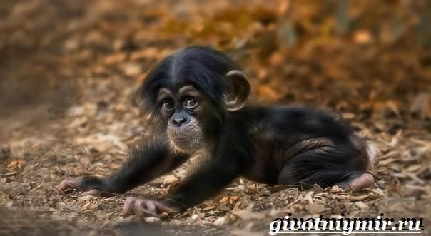 Шимпанзе-обезьяна-Образ-жизни-и-среда-обитания-шимпанзе-5
