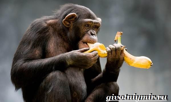 Шимпанзе-обезьяна-Образ-жизни-и-среда-обитания-шимпанзе-6