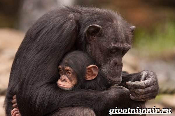 Шимпанзе-обезьяна-Образ-жизни-и-среда-обитания-шимпанзе-7
