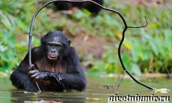Шимпанзе-обезьяна-Образ-жизни-и-среда-обитания-шимпанзе-8