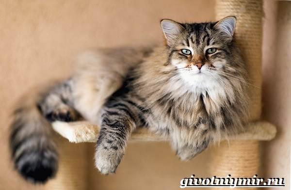 Сибирская-кошка-Описание-особенности-уход-и-цена-сибирской-кошки-1