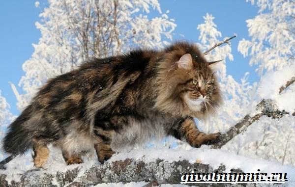 Сибирская-кошка-Описание-особенности-уход-и-цена-сибирской-кошки-2