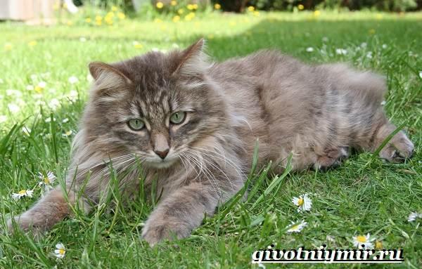Сибирская-кошка-Описание-особенности-уход-и-цена-сибирской-кошки-3