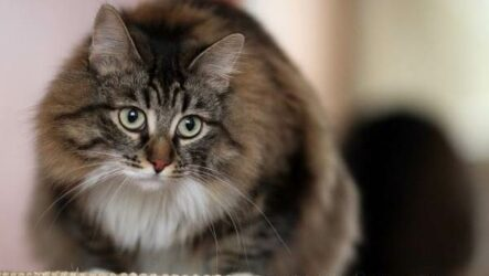 Сибирская кошка. Описание, особенности, уход и цена сибирской кошки