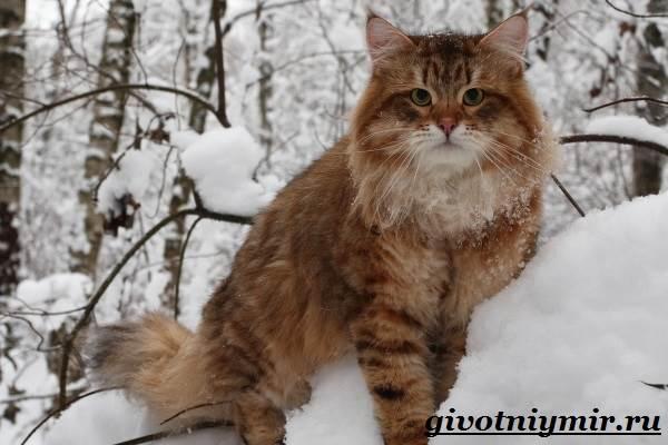 Сибирская-кошка-Описание-особенности-уход-и-цена-сибирской-кошки-5