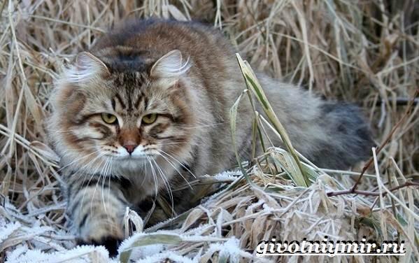 Сибирская-кошка-Описание-особенности-уход-и-цена-сибирской-кошки-6